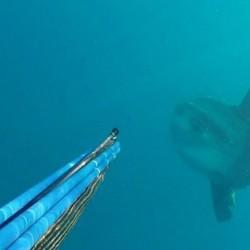 Στον Αγιόκαμπο Λάρισας το μεγαλύτερο ψάρι του κόσμου τρόμαξε ψαροντουφεκά