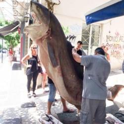 Ψάρεψαν καρχαρία 300 κιλών ανοιχτά της Κεφαλλονιάς